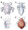 Some external parasites live on or near humans....
