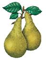 A fruit from a plant of the rose family, pears...