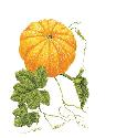 Related to cucumbers, pumpkins are soft-fleshed...