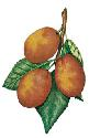 A hybrid of two other fruits, the cherry plum and...