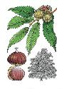 Sweet chestnuts may be roasted, boiled or ground...