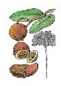 Brazil nut trees (genus Bertholletia) are found...