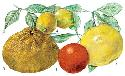 Most fruits belonging to the genus Citrus...