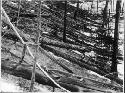 Tunguska event This photograph of flattened trees...