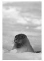 Gray seal (Halichoeres grypus). Copyright Norbert...