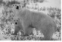Polar bear (Ursus maritimas), Churchill,...