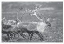 Barren ground caribou crossing the tundra,...