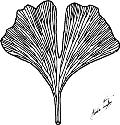 Leaf of Ginkgo biloba showing the open...