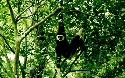 A white-handed gibbon (Hylobates lar) in the...