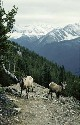 Female Bighorn sheep in the Canadian Rockies....