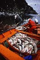 Fishing regulations are maintained to avoid the...