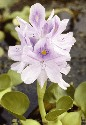 Water hyacinth can double its mass every two...