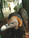 An Oriental white-backed vulture (Gyps...