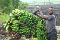 A young man transports a load of green bananas...
