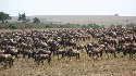 Wildebeest migrating across semiarid plains of...