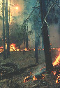 Surface fire reduces ground fuels, recycles...