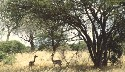 Gerenuk browse in more arid bush savanna Source:...