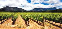 Vineyard in the Constantia region of Cape...