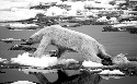 A polar bear searches for enough ice to travel...