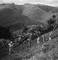 Workers hoeing a tobacco slope in Puerto Rico...