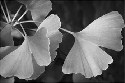 ginkgo tree is one of the best-known...