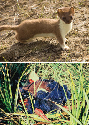 (A) Stoat (Mustela erminea, also known as...