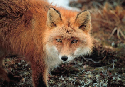 Red fox (Vulpes vulpes), Cape Newenham State Game...
